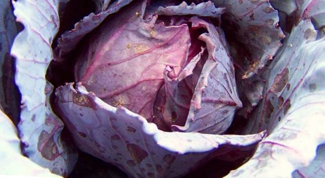 Цветная капуста: выращивание в открытом грунте, посадка и уход