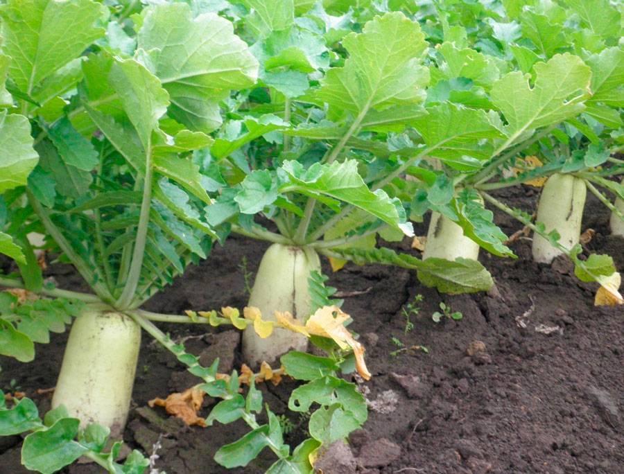 Как посадить и вырастить редьку дайкон?