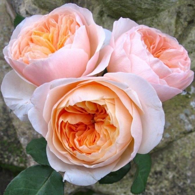 Какие бывают сорта пионовидных роз, особенности ухода