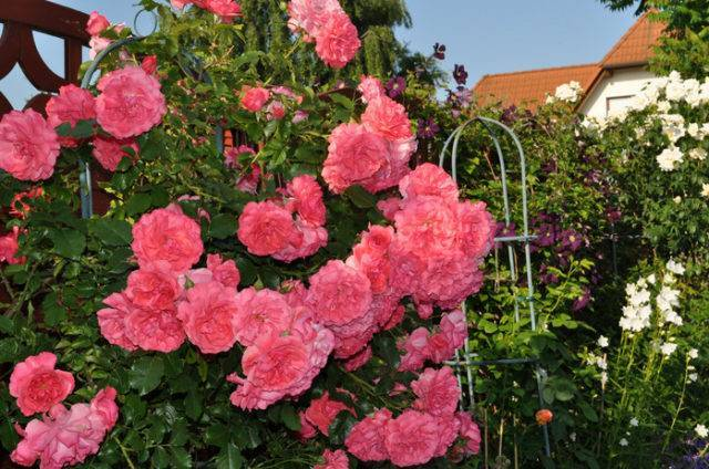 Rosarium uetersen — пышный клаймбер от kordes