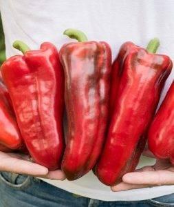 Перец какаду — описание сорта, фото, отзывы, посадка и уход