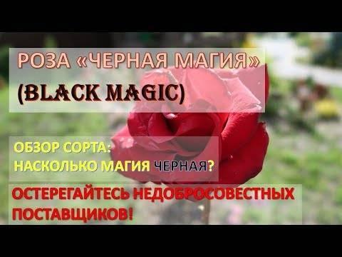 Роза чёрная магия: секреты выращивания королевского цветка