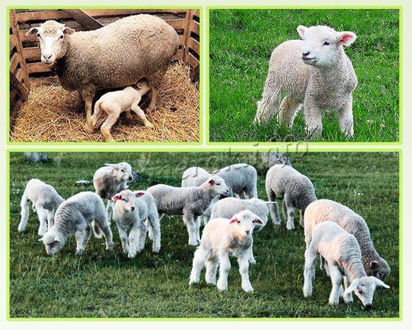 Дают ли овцы молоко: количество в сутки, польза и вред, каких нельзя доить