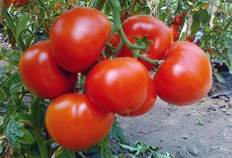 Томат катя: описание сорта, особенности выращивания