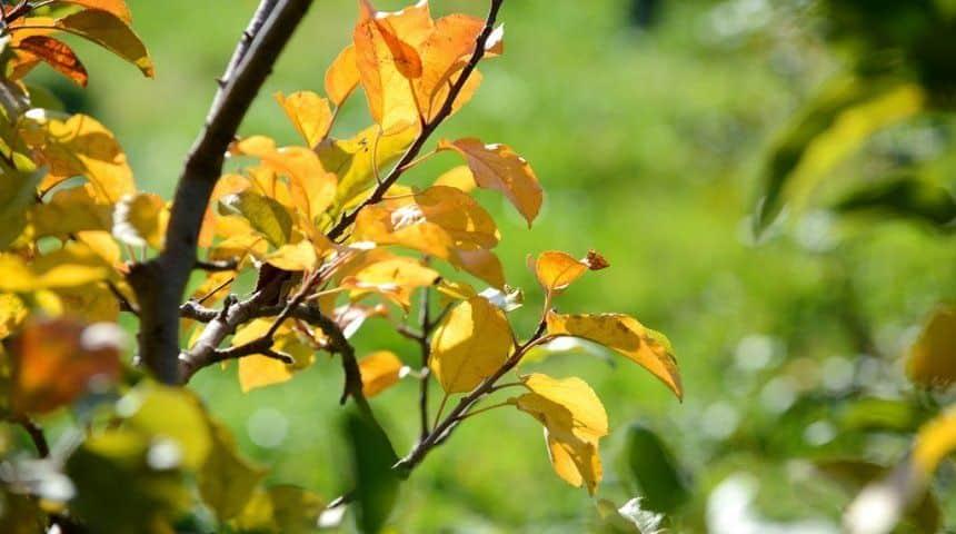 Болезни яблонь и их лечение