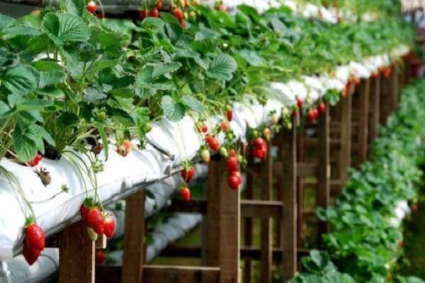 Технология и пошаговая инструкция по выращиванию клубники в мешках