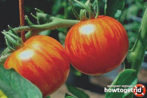 Описание сорта томата рябчик, его характеристика и выращивание