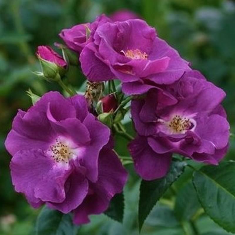 Роза blue