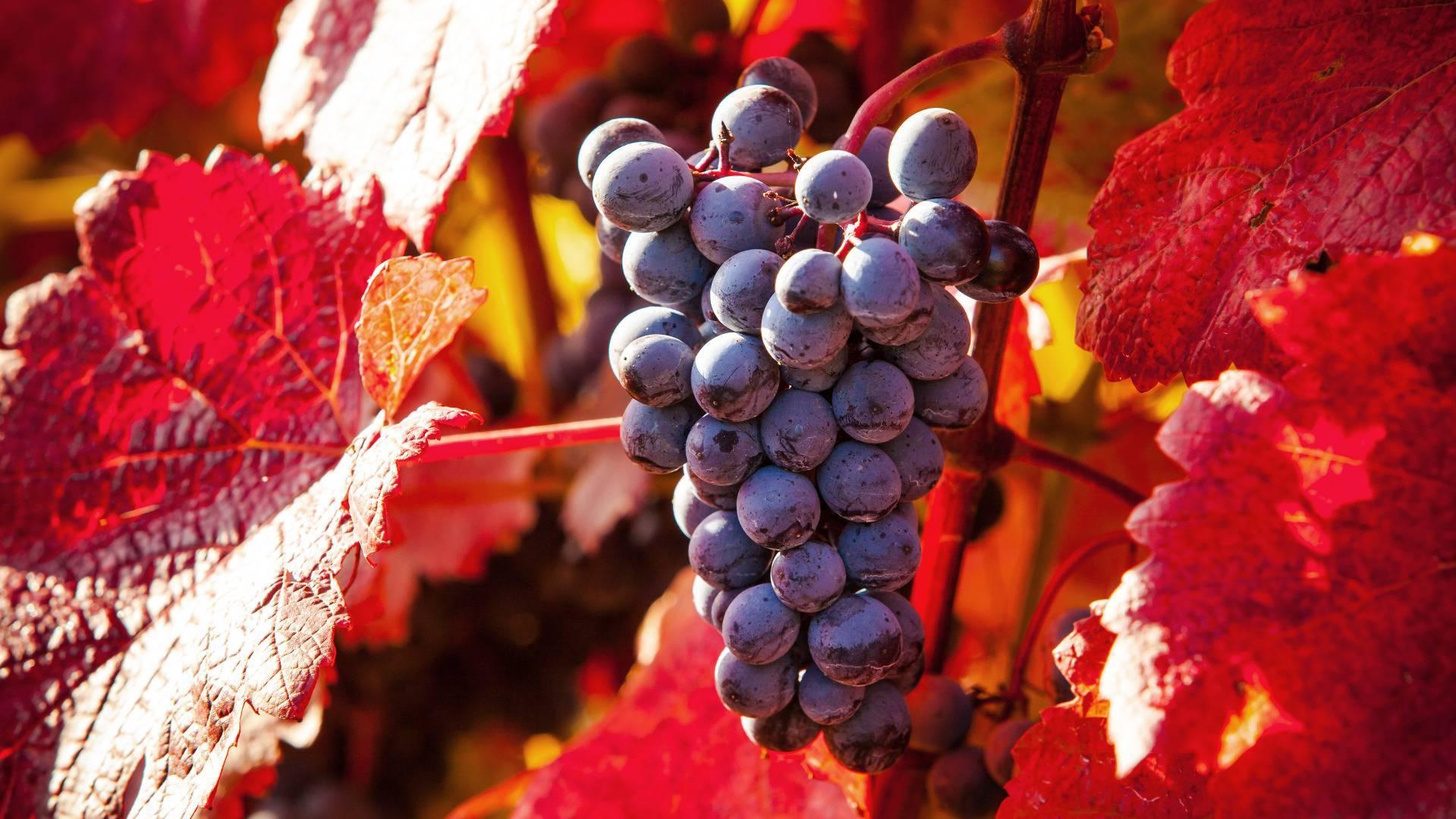 Обработка винограда пищевой содой: как правильно и зачем опрыскивать виноградники содой. нормы полива и эффективность обработки (100 фото)