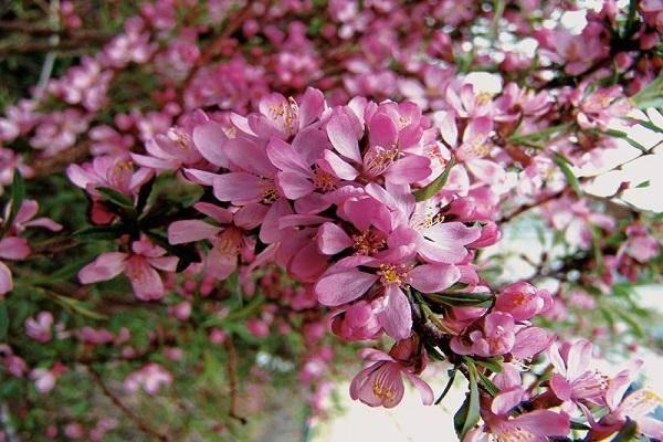 Миндаль розовая пена посадка и уход
