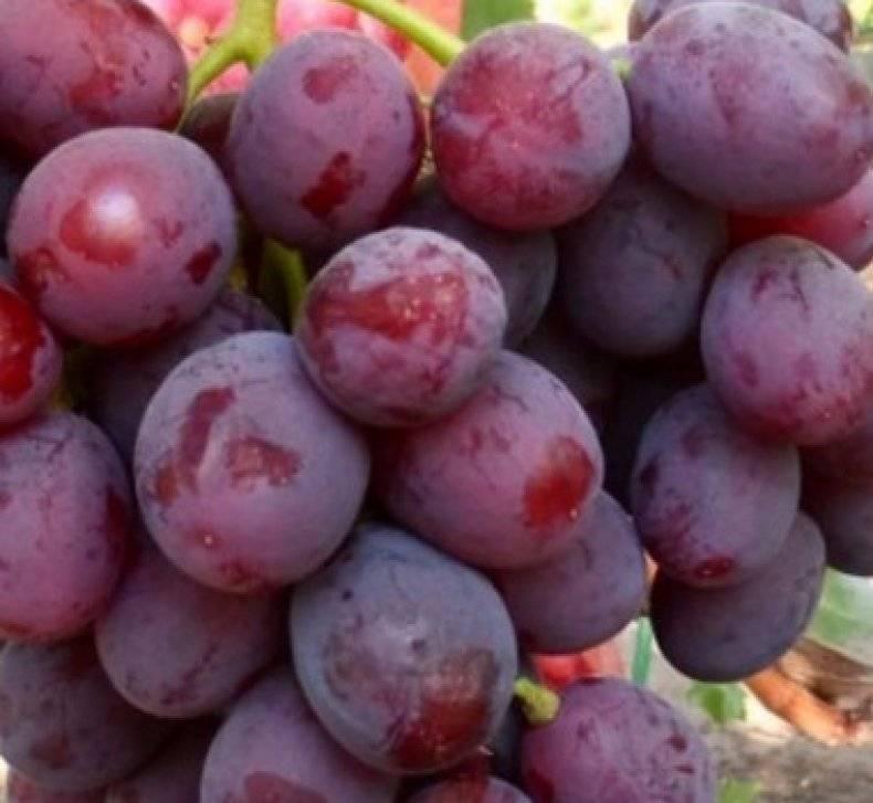 Сорт винограда заря несветая — все подробности