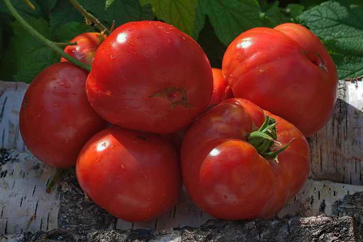 Томат розамарин фунтовый — описание и характеристика сорта