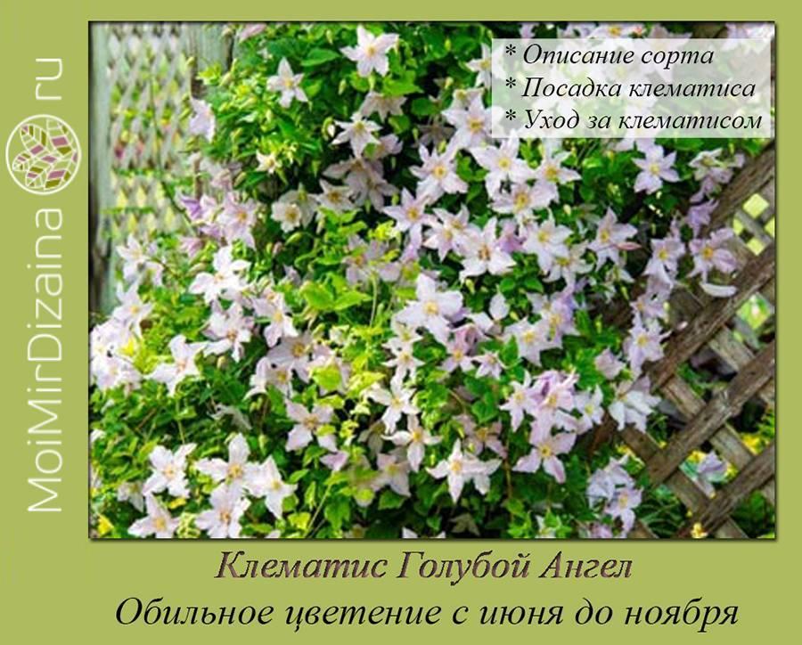 Клематисы: выращивание из семян в саду, обрезка