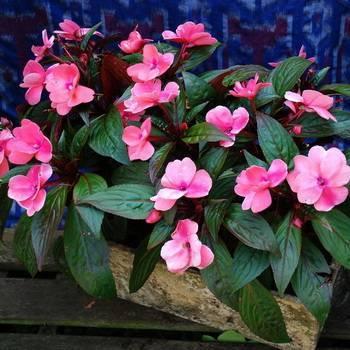 Бальзамин уоллера — цветение круглый год
