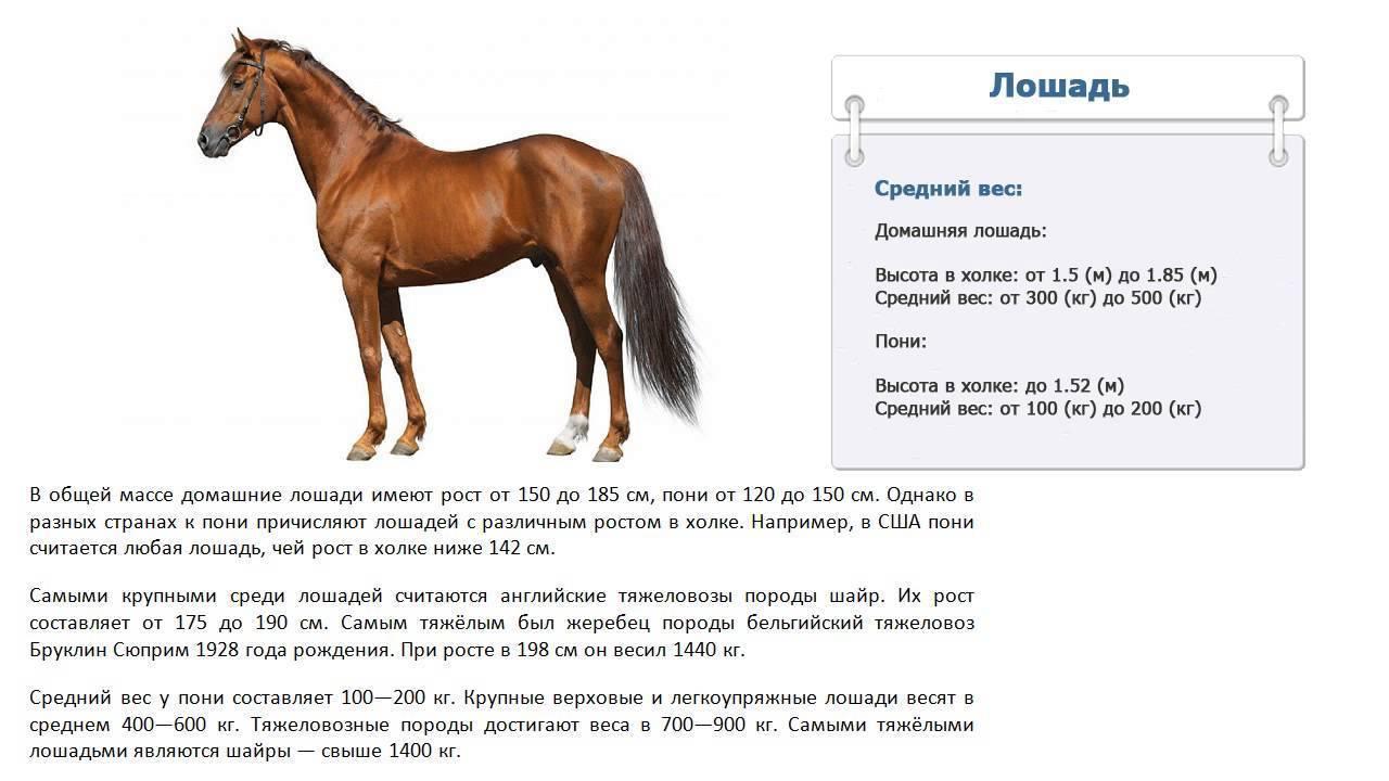 Сколько весит лошадь? вес и степень упитанности