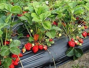 Как вырастить рассаду земляники в домашних условиях
