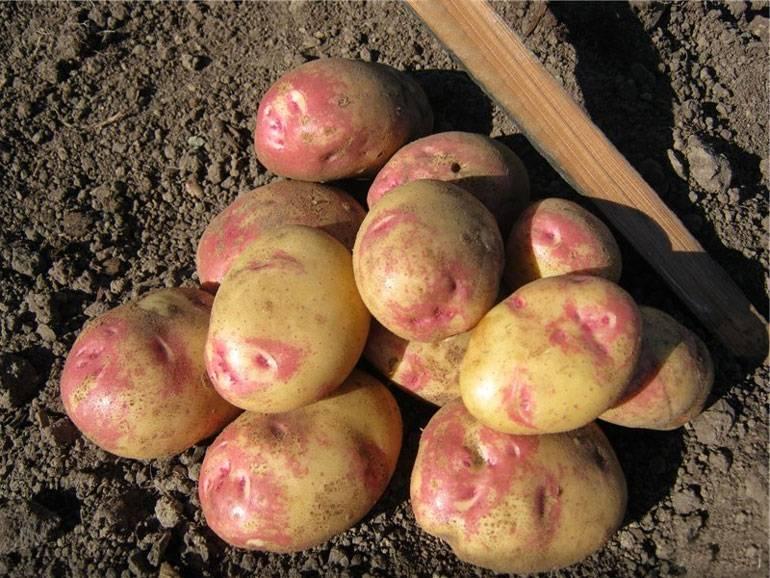 услуги плазменной сорт картофеля хозяюшка фото и описание отзывы послушный