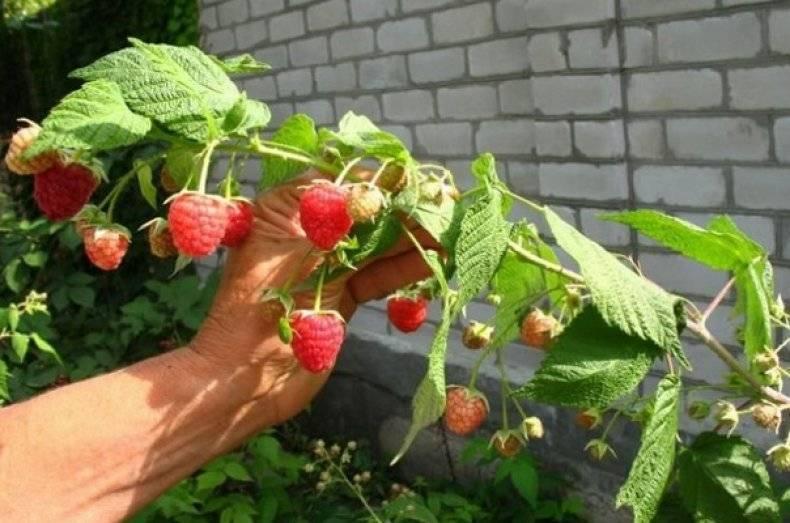Малина исполин – название сорта или размер ягод?
