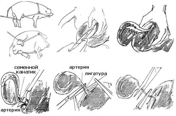 Особенности кастрации баранов и топ-5 способов в домашних условиях