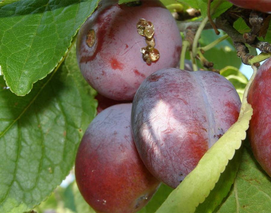 Болезни и вредители вишни
