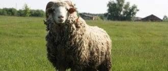 Как правильно и чем стричь овец?