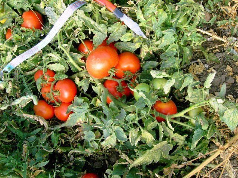 Низкорослые помидоры (томаты) для открытого грунта без пасынкования.