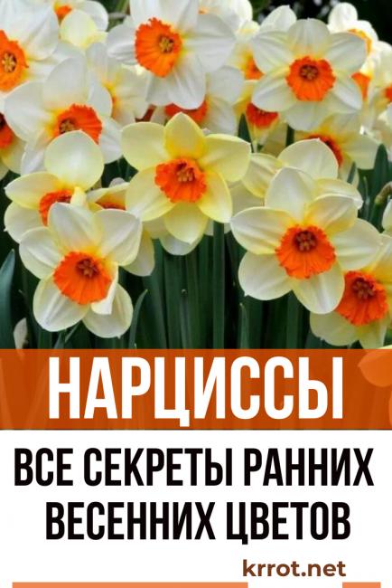 Нарциссы посадка и уход: особенности выращивания и агротехника