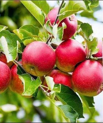 Яблоня слава победителям: описание сорта, посадка и уход