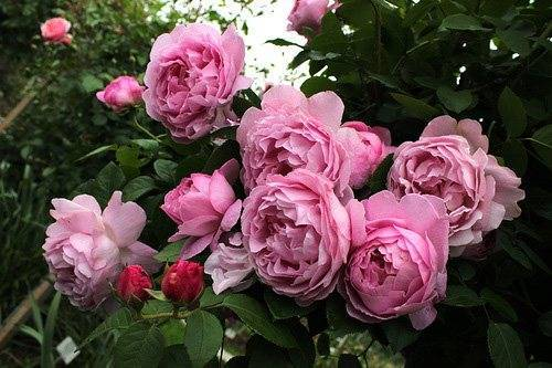 Мускусные розы — выращивание: от посадки до ухода