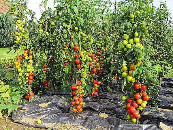 Томат красная шапочка: характеристика и описание, отзывы, фото, урожайность сорта