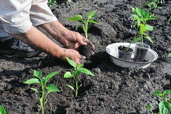 Когда сеять перец на рассаду в 2020 году: сроки посева