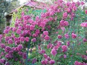 Как выглядит клематис пурпуреа плена элеганс: выращивание цветка
