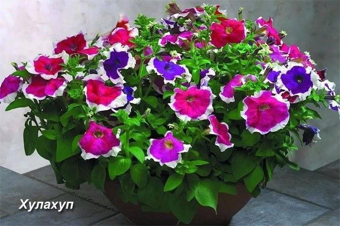 Виды и сорта петуний для выращивания в саду и дома: названия с фото