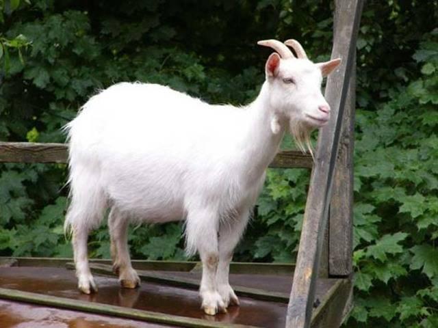 Условия получения хорошего потомства: как и когда запустить козу, как доить и правильно кормить? возможные проблемы