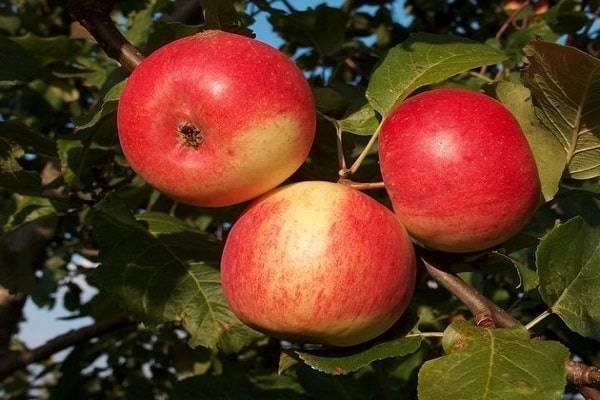 Зимостойкая яблоня южноуральское