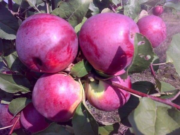 Описание и характеристика сорта яблони Либерти, особенности посадки и ухода