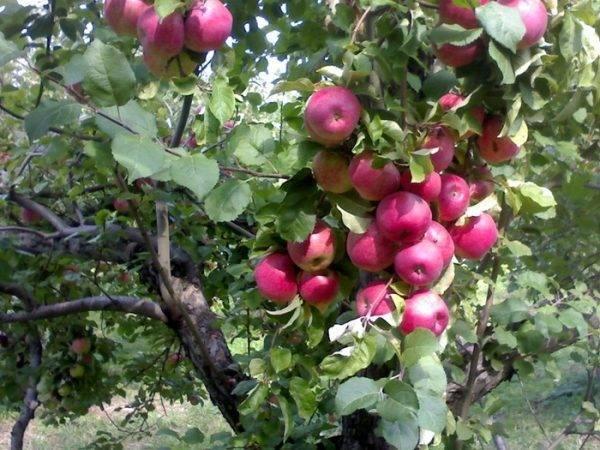 Яблони апорт — алматинский, атинский, дубровского, красный