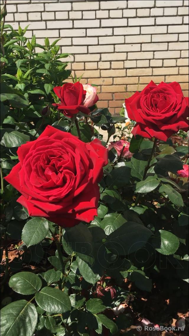 Роза флорентина (florentina) — что это за уникальный сорт