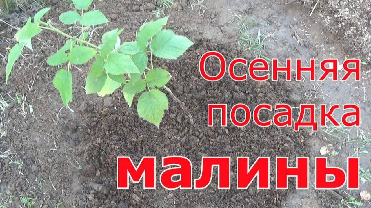 Осенняя посадка малины: как провести её в срок и не остаться без урожая