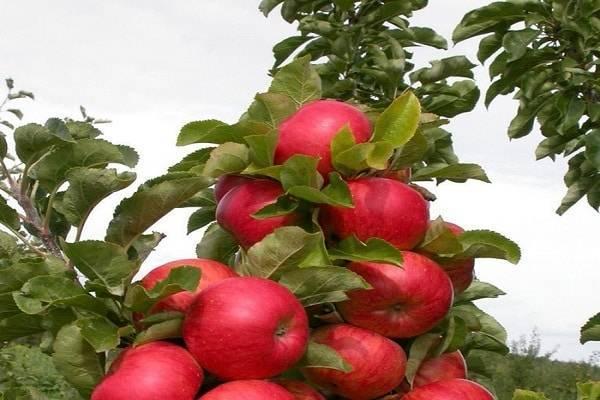 Колоновидная яблоня для сибири — выбираем подходящий сорт