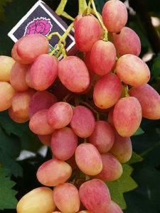 Кардинал среди винограда — сладкий и сочный сорт ришелье