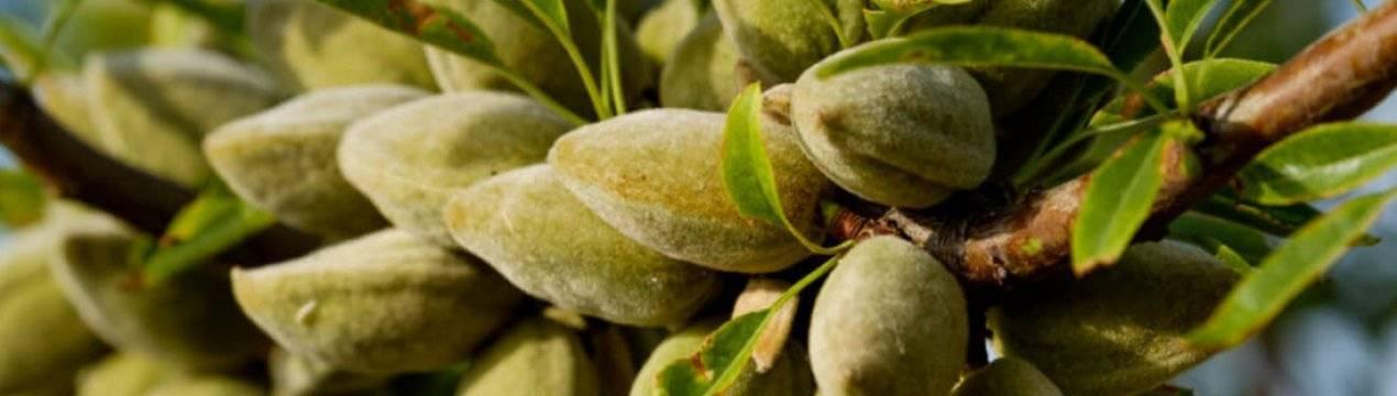 Миндаль: рейтинг и регионы выращивания лучших зимостойких сортов