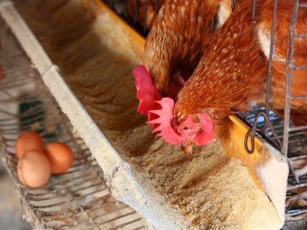 Как разводить кур в домашних условиях?