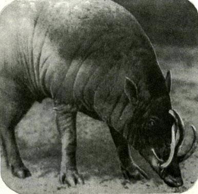 Как выглядят бараны и от кого они произошли, где обитают парнокопытные
