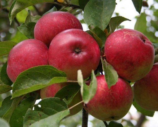 Зимостойкая яблоня призовое