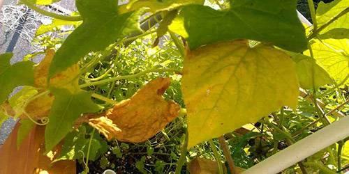 Желтеют листья у огурцов в теплице: что делать, чем обработать