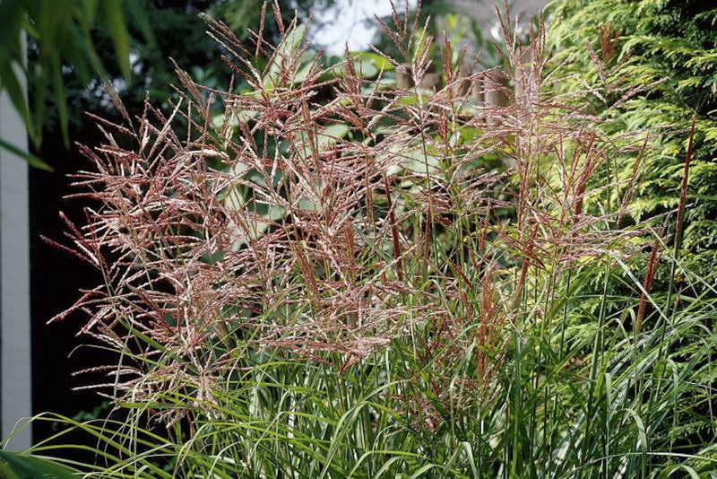 Мискантус: характеристика видов и правила агротехники