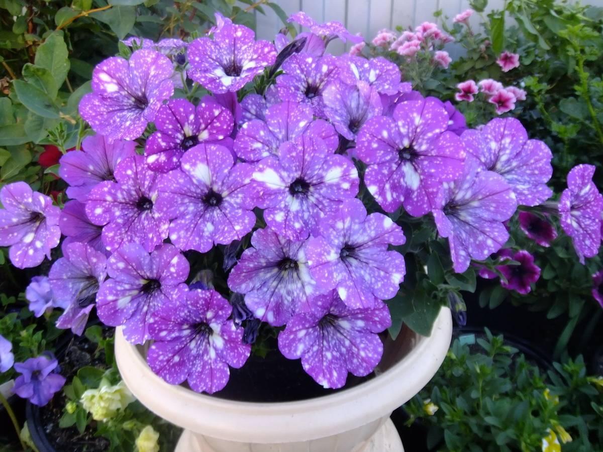 Многоцветковая петуния: какой бывает и как ее правильно выращивать?