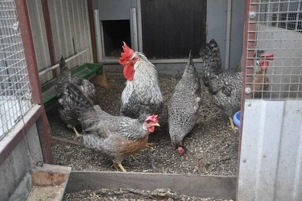 Легбар порода кур: описание