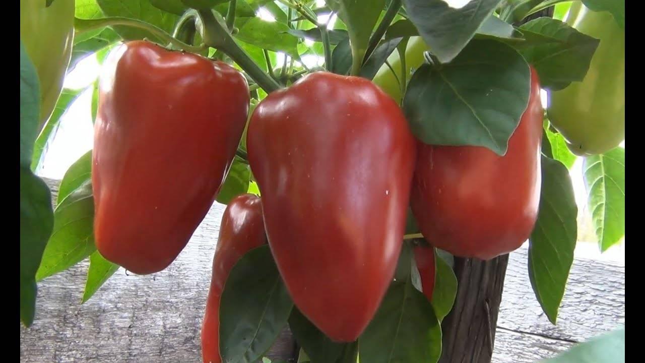 Перец «воловье ухо»: описание сорта с фото и отзывы садоводов